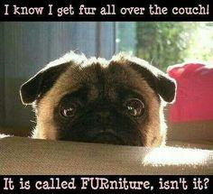 🐾 #furniture #pug 🐾  🌟 www.jointhepugs.com 🌟  #pugpower #puglover #pets  #puglovers #pugsnotdrugs #pugchat #cuteness #pugs #fawnpug
