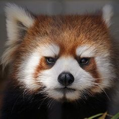 Red Panda Cute, Panda Love, Cute Baby Animals, Funny Animals, Animal Society, Tier Fotos, Baby Puppies, Cute Creatures, Funny Animal Pictures