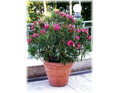 Nerium oleander nana