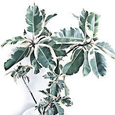 ➖Line UP➖ ▪️▫️Statement stripes for BOLD visual impact▫️▪️ 💚ELASTICA Decora #thebotanicalsociety #botanical #attention #cleanliving #decor #freshair #fortitudevalley #green #greenery #greenlife #home #homedecor #houseplant #interiors #indoorliving #interiordesign #interiorstyling #livingwithplants #noosa #newfarm #plant #plants #plantlife #potplants #plantbased #sunshinestate #sweetspot #teneriffe #elastica