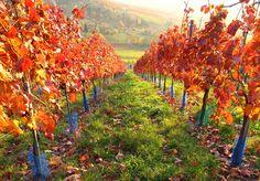 Beautiful Autumn Vineyard | Tumblr