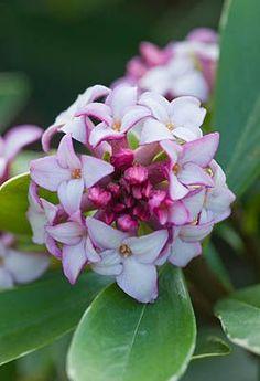 'Aureo-marginata' Fragrant....Daphne?