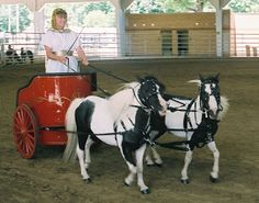Toad Hill Miniature Horses: Roman Chariots Race in DuQuoin