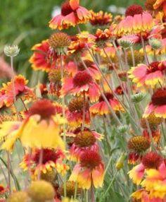 Blanketflower 1