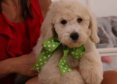 Buy Cheap Goldendoodle Puppies for Sale near me Goldendoodle Puppy For Sale, Medium Goldendoodle, Goldendoodles For Sale, Labradoodle, Puppies For Sale, Buy Cheap, Cute Dogs, Cute Animals, Dog Stuff