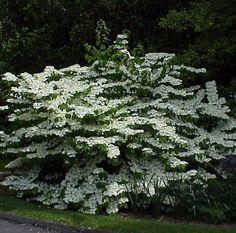 Viburnum plicatum f. tomentosum 'Shasta' – Shasta Doublefile