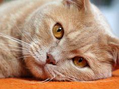 Britisch Kurzhaar, kuscheliger Schmusetiger, der die Ruhe weg hat – Bild: Shutterstock / Jiri Sebesta    www.einfachtierisch.de