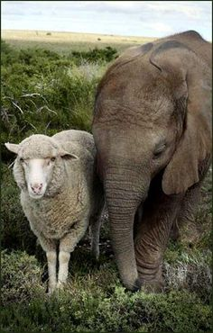 Animal Odd Couples: Unlikely friendships in the Animal Kingdom Unusual Animal Friendships, Unlikely Animal Friends, Unusual Animals, Animals Beautiful, Majestic Animals, Odd Animal Couples, Odd Couples, Elephas Maximus, Baby Animals