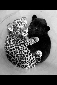 #wallpapers #tigers #tiger #blackandwhite #black #and #white #beautiful