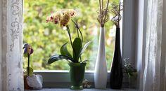 фаленопсис, комнатные орхидеи, орхидеи в доме, комнатные растения