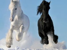 Black Horse and White Horse Running in Snow photo by Horse Pictures, Funny Animal Pictures, Funny Animals, Cute Animals, Horse Photos, Wild Animals, Funny Pics, All The Pretty Horses, Beautiful Horses