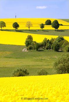 Gelb-gelb-gelb, Rapsfelder blühend, 365tagegelb.wordpress.com