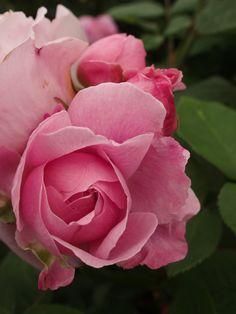 'Mary Rose' | Shrub. English Rose Collection. David C. H. Austin, 1983 | Flickr - © britchickphoto