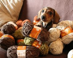 dachshund in a yarn pile.