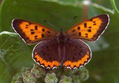 Bronze Copper [Lycaena hyllus] Male Ontario, Canada