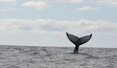 Humpback whale tail waving at us, Whale Watching Photo Safari by Vallarta Adventures  |   Puerto