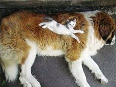 This little kitty who thinks this big dog is a king-sized bed. // 11 Tiny Animals Who Have No Idea How Tiny They Are