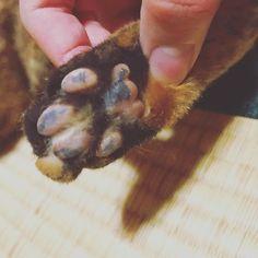 メカたんの肉球はややピンク多めの斑模様です( ^ω^ ) #猫 #猫専用アカウント#愛猫 #愛猫家 #ひじき #めかぶ #ひーちゃん #めーちゃん #サビトラ #猫は世界を救う #猫スタグラム #猫のいる生活 #肉球 #肉球部 #肉球愛 #にゃースタグラム #サビトラ #メス猫