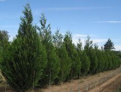 Deer Resistant Evergreens for Privacy Screens and Hedges in New Jersey