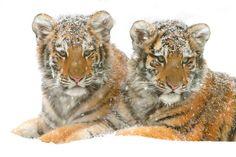 snow cubs