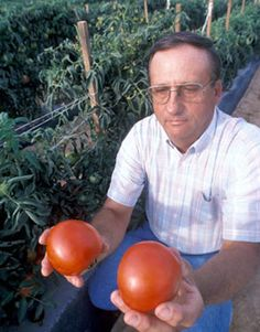 In-depth article discussing tomato blight and advising which tomato varieties to choose for blight resistance. Tips For Growing Tomatoes, Growing Tomato Plants, Growing Tomatoes In Containers, Growing Vegetables, Grow Tomatoes, Baby Tomatoes, Gardening Vegetables, Backyard Vegetable Gardens, Tomato Garden