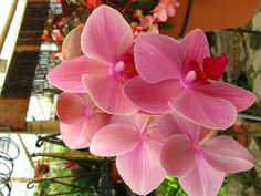 Lush, bright, and beautiful Phalaenopsis Orchids. Amazing Flowers, Pink Flowers, Beautiful Flowers, Blooming Flowers, Phalaenopsis Orchid, Pink Orchids, Love Garden, Plantar, All Plants