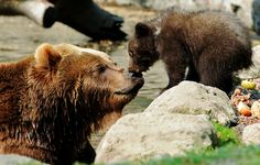 A Kamchatka Brown Bear and one of her two three-month-old cubs share a kiss in Hamburg, Germany