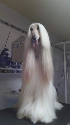 BeingDogs.com loves Afghan Hounds