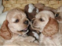 Love cocker spaniels!!!! Especially buff colored ones.