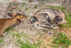 Samantha, the Reeves Muntjac. Read about this cute baby deer by clicking through this pin to our blog.