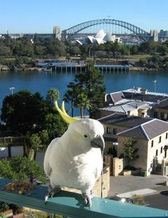 Cacatua galerita -balcony -Sydney -Australia