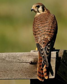 American Kestrel  solitary female seen on pasture fence over several months in 2011