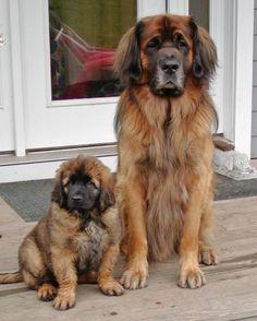 My next puppy :) Leonberger!!! kcporter07