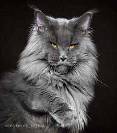 Gray Maine Coon