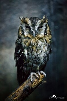 owl of the forest Beautiful Owl, Animals Beautiful, Cute Animals, Owl Bird, Pet Birds, Reptiles, Grand Duc, Wise Owl, Mundo Animal