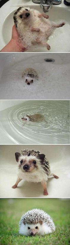 Meet #Darcy, The #Hedgehog Which Is So Cute That You Will Instantly Love It: Daily Schedule, Animals, Cute Hedgehog, Bath, Heghog, Hedgehogs, Hedghog