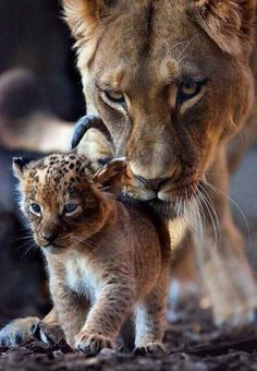 Cub with Lion Jungle, Animal Babies Crystal Clear Glossy Photos just for $1.99 buy 1 get 2 FREE special offer now - http://www.yoga-aid.com/art-photos/cub-with-lion-jungle/
