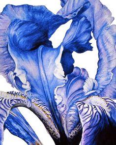 Iris  Large fine art botanical print 16 x 11 or by BlueShedStudio