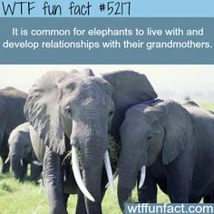 Elephants develop relationships with their grandmothers - WTF awesome & fun facts