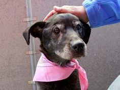 SUPER URGENT 4/8/14 Manhattan Center   GIGGLES a/k/a LUNA - A0995913  FEMALE, BLACK / WHITE, GERM SHEPHERD MIX, 10 yrs STRAY - ONHOLDHERE, HOLD FOR ID Reason STRAY  Intake condition INJ MINOR Intake Date 04/06/2014, From NY 10472, DueOut Date 04/14/2014,   https://www.facebook.com/photo.php?fbid=784977738181774&set=a.617942388218644.1073741870.152876678058553&type=3&theater