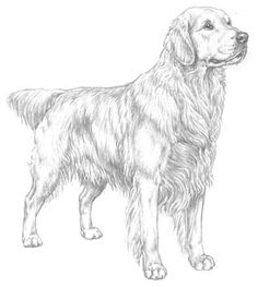 pencil drawing of the Golden Retriever Pencil Art Drawings, Animal Drawings, Cute Drawings, Dog Drawings, Golden Retriever Art, Golden Retrievers, Retriever Puppy, Dog Paintings, Dog Art