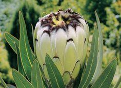 Cream Mink Rare Flowers, Flowers Nature, Exotic Flowers, Tropical Flowers, Amazing Flowers, White Flowers, Protea Art, Protea Flower, Australian Native Garden