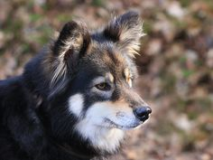 finnish Lapphund photo | Lovely Finnish Lapphund Photo 1024×768 #192279 HD Wallpaper Res ...