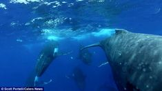 Despite humpback whales being spotted in larger pods when mating, they often prefer to travel in much smaller groups in their day-to-day lives