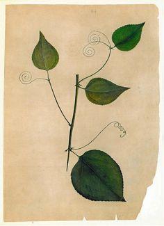 Vintage Botanical Print Plant Timor Asia by carambas