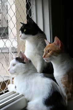 Three Cats by the window... by fofurasfelinas, via Flickr
