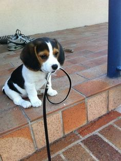 http://top10dogpictures.com/the-cutest-beagle-puppy-pictures-ever.html The Cutest Beagle Puppy Pictures Ever