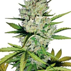 Super Skunk AutoFlower Weed Seeds, Autoflowering Cannabis seeds