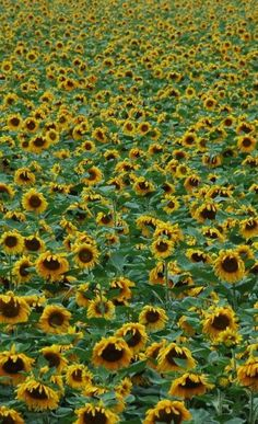 So many Sunflowers!