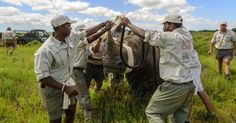 Between 1997 and 2013, 1500 rhinos have been relocated from Kruger.